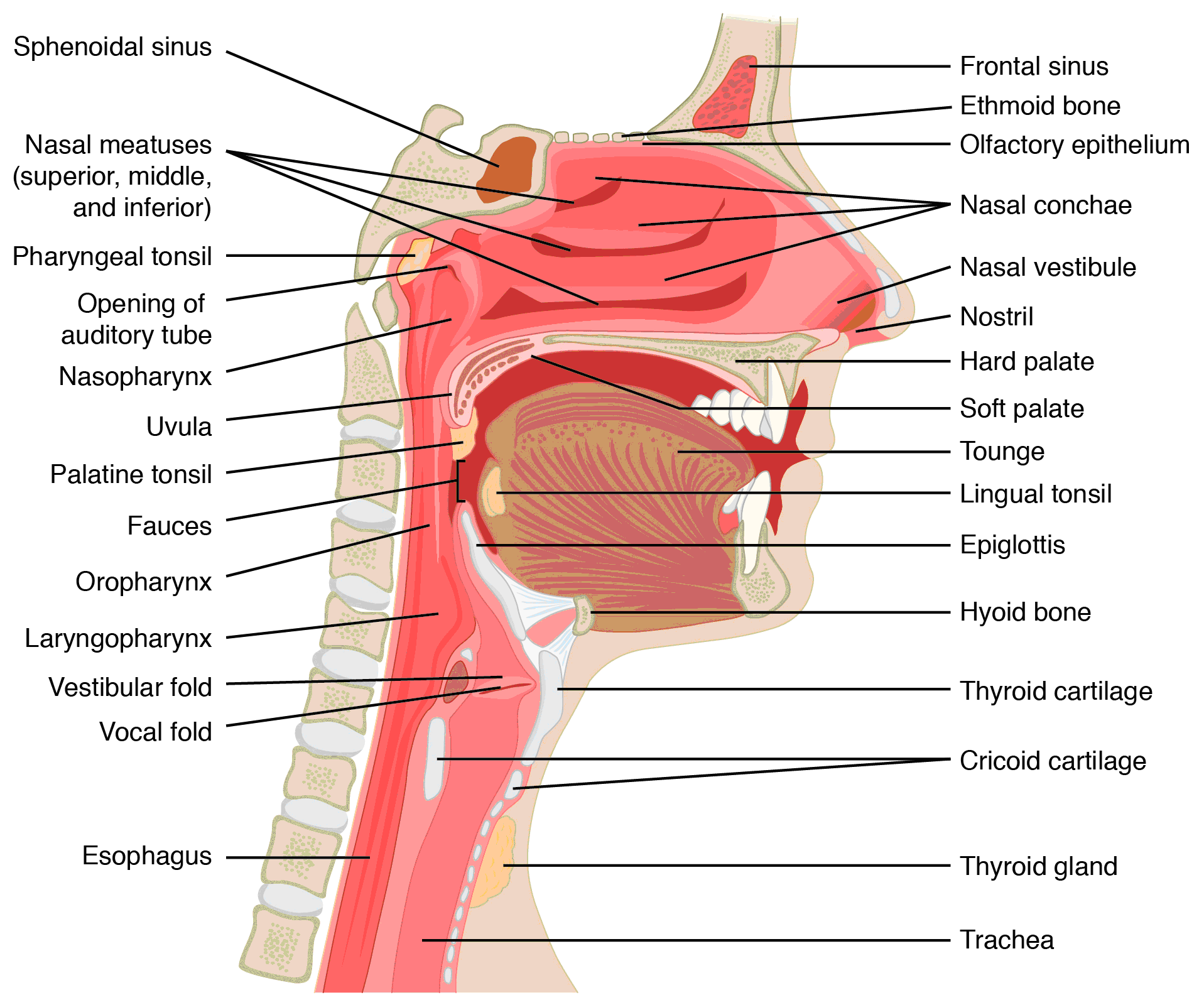 Respiratory system anatomy head and neck x section ccuart Choice Image