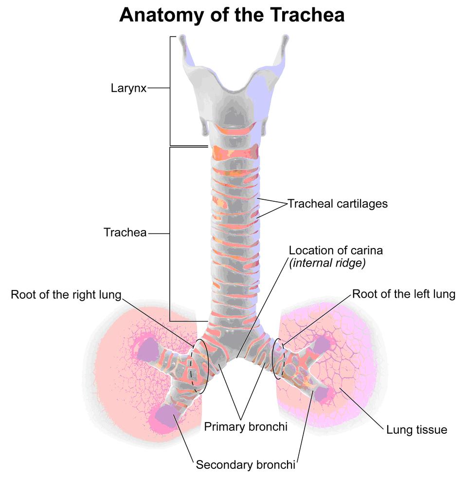 Respiratory System- Anatomy